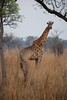 Tall Drink of Water at Kruger National Park, South Africa