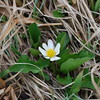 Hidden flower at Brainard Lake
