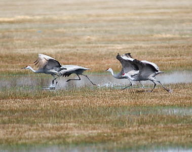 Sandhill Cranes on departing runway, Burns, Oregon