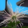 JudyC_1_Chrysanthemum_WestGateMall