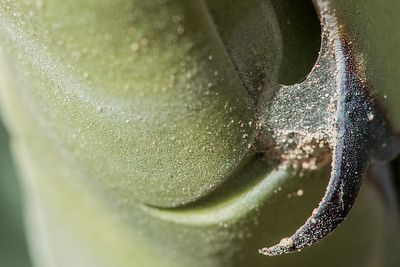 Agave thorn. Baja California, Mexico