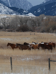 Wintering the Herd, near Yellowstone National Park