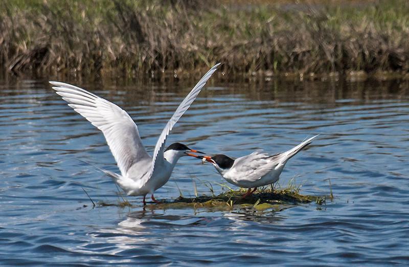 Terns Feeding