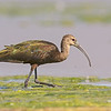 white-faced ibis summer lake oregon