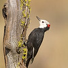 white-headed woodpecker fort rock oregon