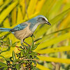 florida scrub-jay cruickshank sanctuary florida