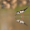 black-necked stilt colusa california