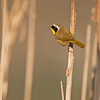 common yellowthroat victoria bc