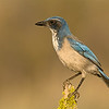 western scrub-jay fort rock oregon