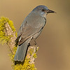 pinyon jay fort rock oregon