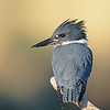 belted kingfisher vancouver island