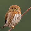 northern pygmy owl chilliwack bc