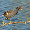 common moorhen merritt island national wildlife refuge florida