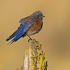western bluebird fort rock oregon