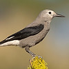clark's nutcracker fort rock oregon