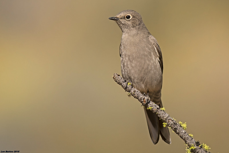 townsend's solitaire fort rock oregon