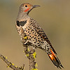 northern flicker fort rock oregon