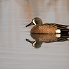 blue-winged teal bc interior