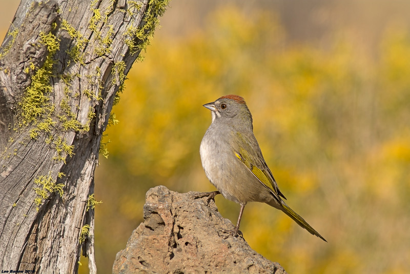 green-tailed towhee fort rock oregon