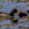 Gallinule Feeding Time