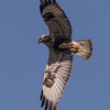 Rough Legged Hawk Flyover