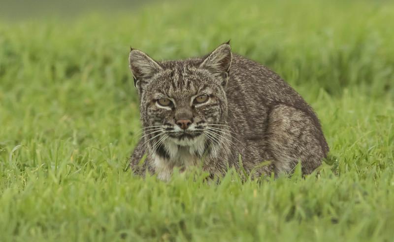 Bobcat Stare