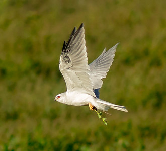 White-tailed Kite with Vole and Greens