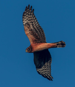 Female Harrier Flyby