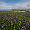 Wild Iris on the Pacific Coast