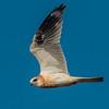 Juvenile White Tailed Kite