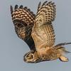 Great Horned Owl Flight