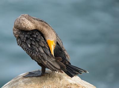youngcormorantgroominglajollacove