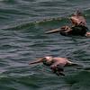 Parent and Juvenile Pelicans,  Point Reyes