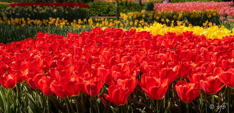 Vibrant Keukenhof Gardens Tulips