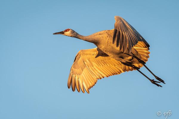 Golden Morning Sandhill Crane