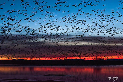 Snow Geese Sunrise