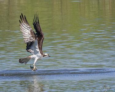Successful Osprey_