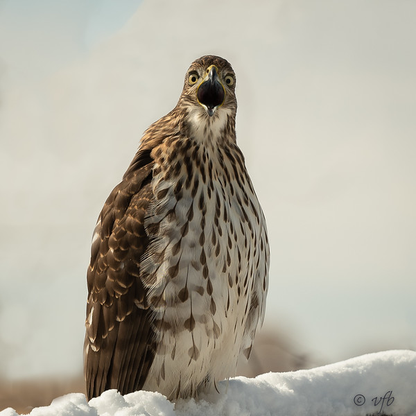 Frustrated Immature Cooper's Hawk
