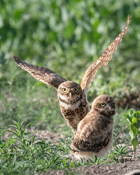 Parent and Young Burrowing Owls