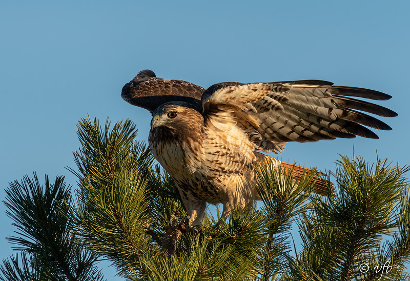 Redtailed Hawk Coming in for a Landing