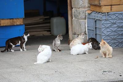 Seven cats at Llastres