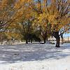 Snowy Oak Trees