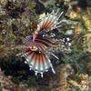 An amazing colorful Lionfish