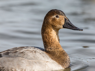Canvasback duck - female