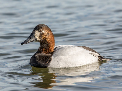 Canvasback hen - older