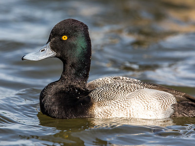 Lesser Scaup - male