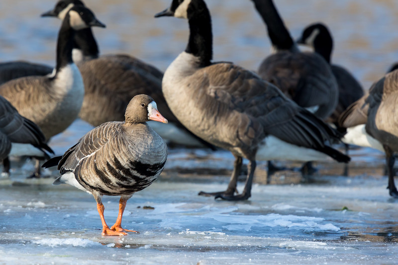Greater White-fronted goose (Maryland rarity)