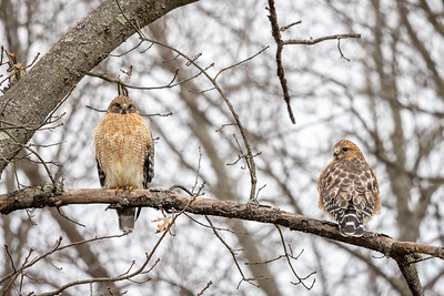 Red shoulder hawks