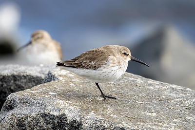 Dunlin (winter)