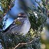 Yellow-Rumped Warbler, favorite, Favorite